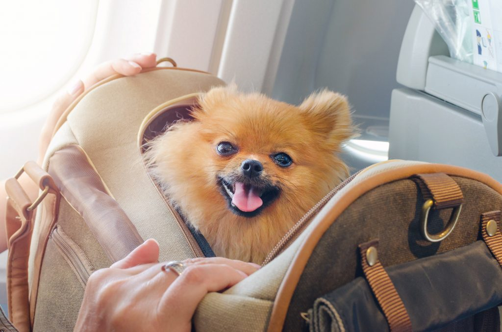 ssmall dog pomaranian spitz in a travel bag on board of plane